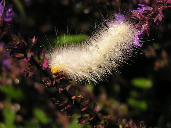 White-  Woolly Bear Catapiller ?  - found in late June in flower garden - NorthEast South Dakota - Spilosoma virginica