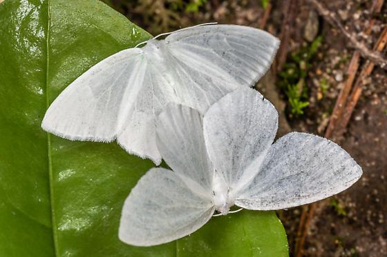Eugonobapta nivosaria? - Eugonobapta nivosaria - male - female