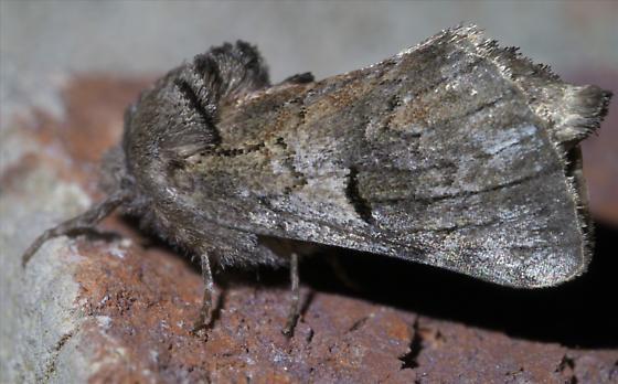 Brown moth with a black arc - Schizura