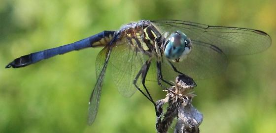 ID please - Pachydiplax longipennis