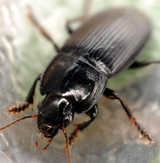 ground beetle - Anisodactylus harrisii