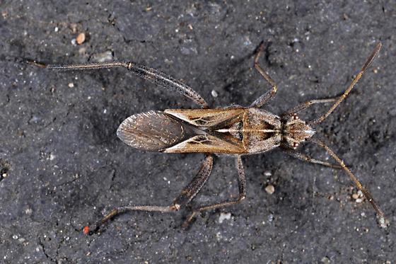 unknown bug - Tollius setosus