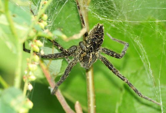 Fishing spider - Dolomedes scriptus - female