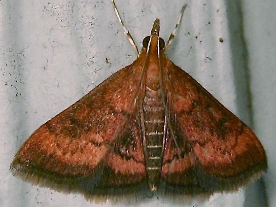 Variable Reddish Pyrausta - Hodges #5051 (Pyrausta rubricalis) - Pyrausta rubricalis