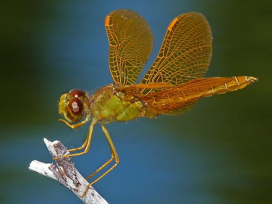 Mexican Amberwing - Perithemis intensa - male