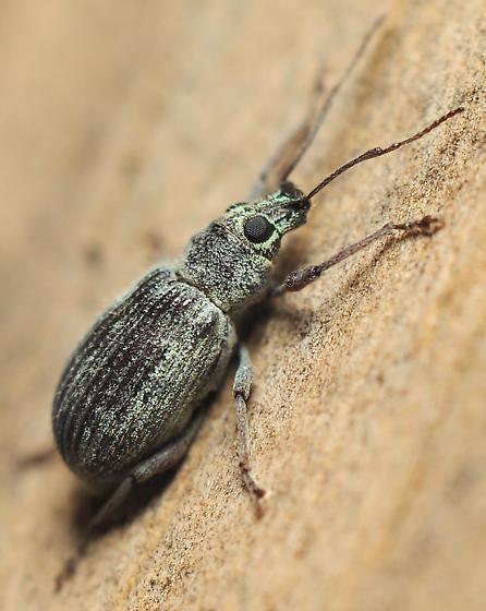 Cyrtepistomis castaneus - Cyrtepistomus castaneus