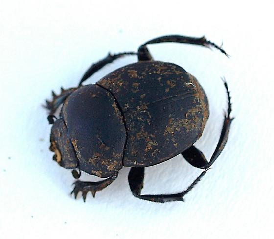 From cowdung - Canthon floridanus