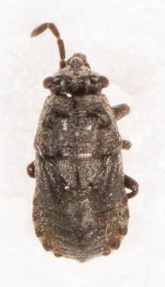 Hemiptera - Phlegyas abbreviatus