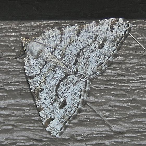 Macaria decorata maybe - Macaria decorata