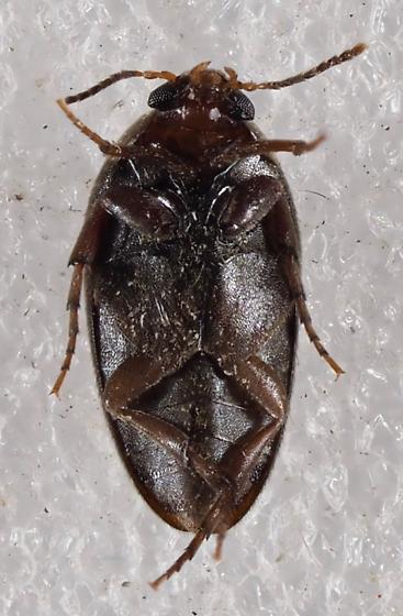 Eucinetidae - Eucinetus