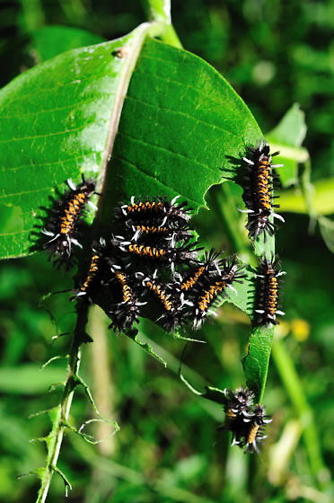 caterpillars of some kind - Euchaetes egle