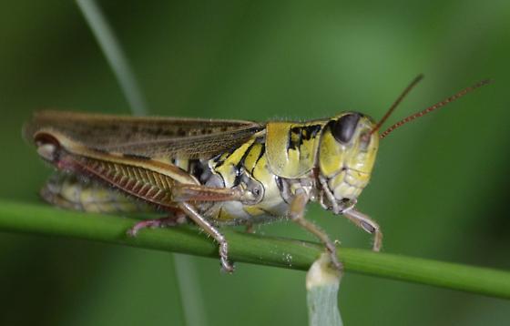 Melanopus borealis - Melanoplus - female