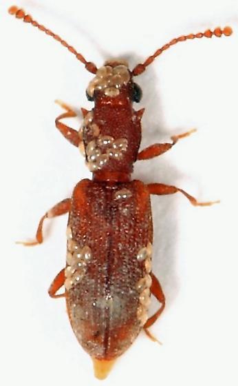Silvanid - Silvanoprus angusticollis