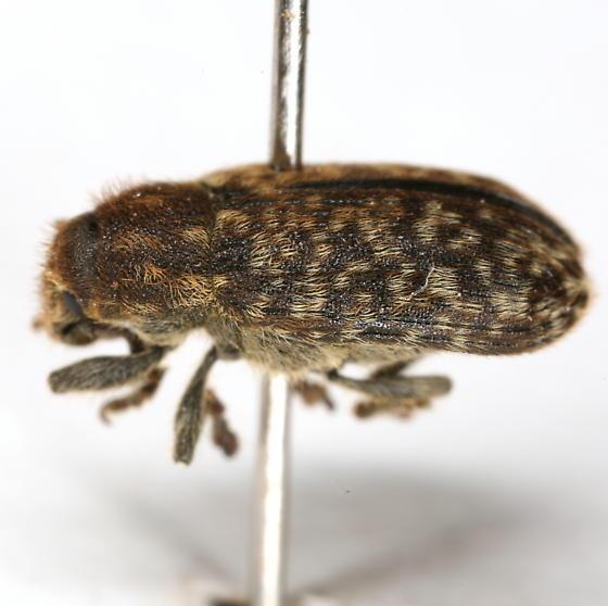 Rhinocyllus conicus (Frölich) - Rhinocyllus conicus