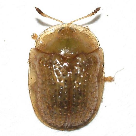 Cassidini - Parorectis sublaevis