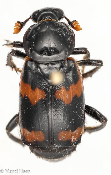 Nicrophorus orbicollis? - Nicrophorus sayi - female
