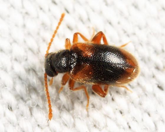 Aderid - Zonantes fasciatus