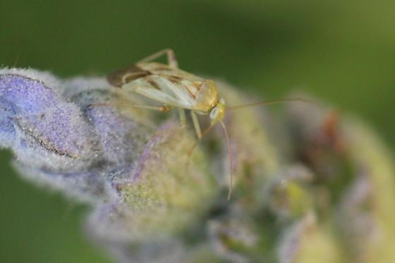 tarnished plant bug? - Taylorilygus apicalis