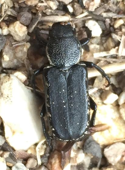 Cremastocheilus sp. - Genuchinus ineptus