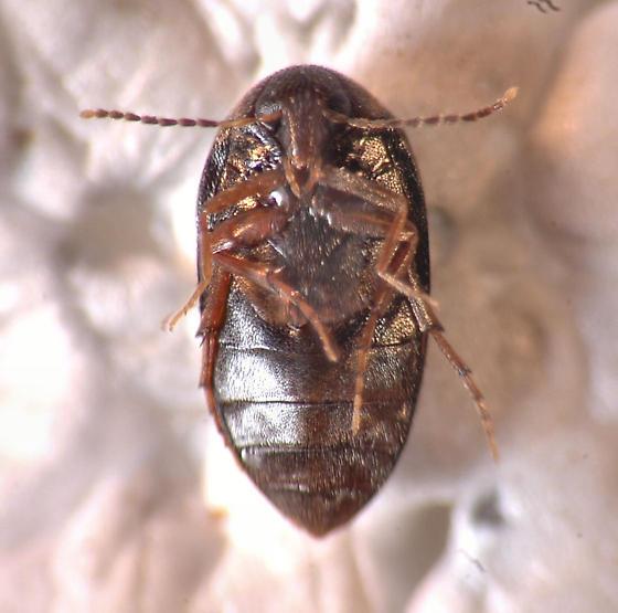 Scirtidae? - Euscaphurus saltator