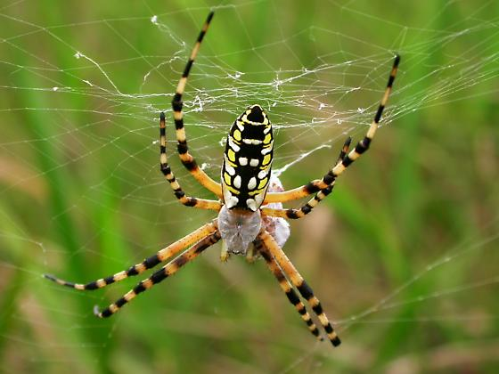 Female with prey - Argiope aurantia