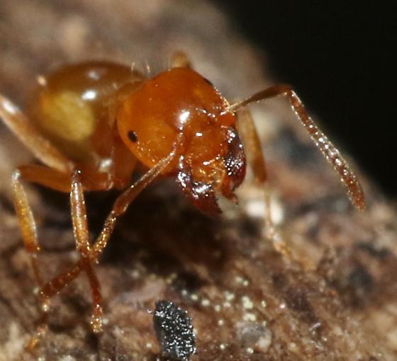 Small orange ant - Lasius arizonicus