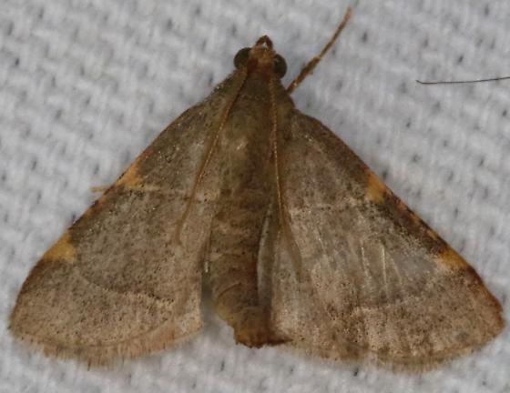 Hypsopygia binodulalis - Pink-fringed Dolichomia Moth - Hypsopygia binodulalis