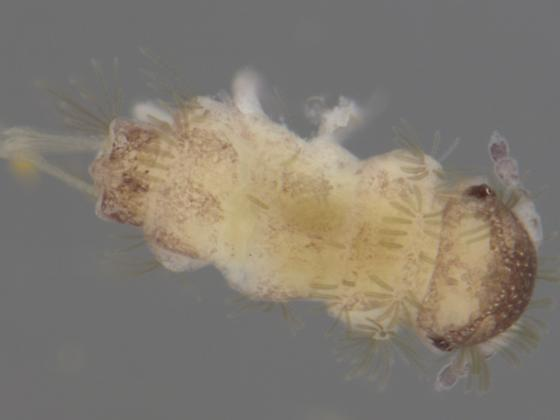 Collembolan in an ant nest