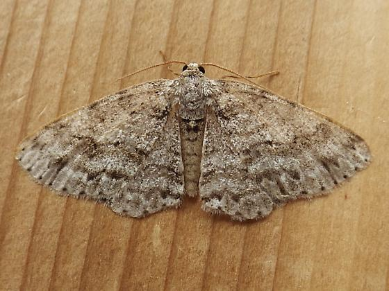 Geometridae: Melanolophia canadaria - Melanolophia canadaria - female