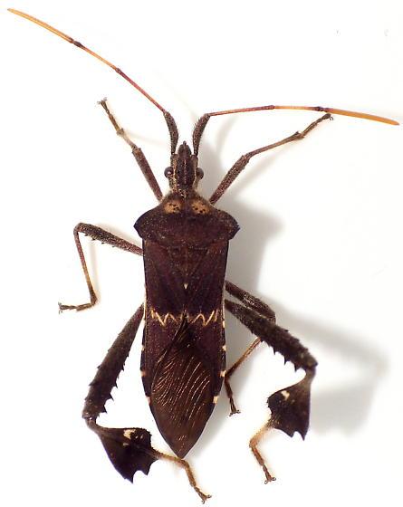 Leptoglossus zonatus - male