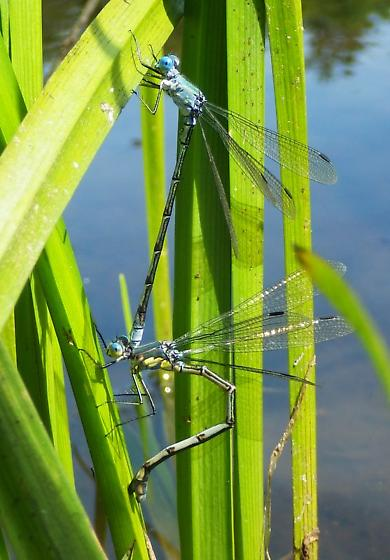 Lestes eurinus - male - female