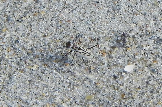 Bug at the Beach - Habroscelimorpha dorsalis
