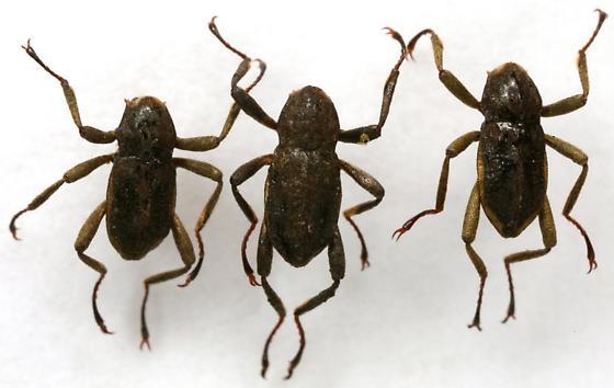 Macronychus glabratus Say - Macronychus glabratus