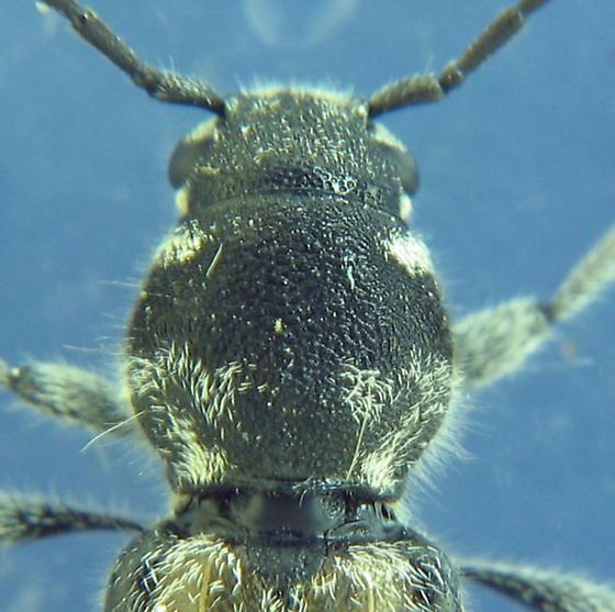 which species? - Xylotrechus aceris