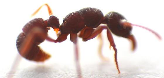Ant - Gnamptogenys triangularis - female