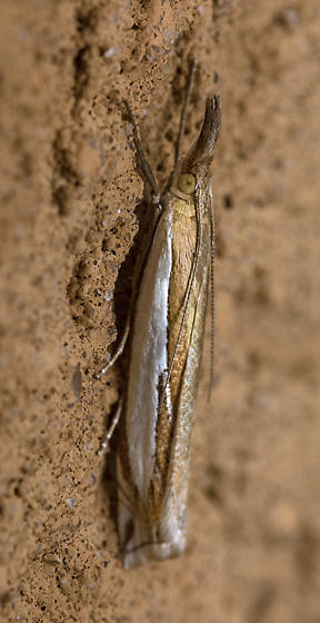 Rolled moth - Crambus