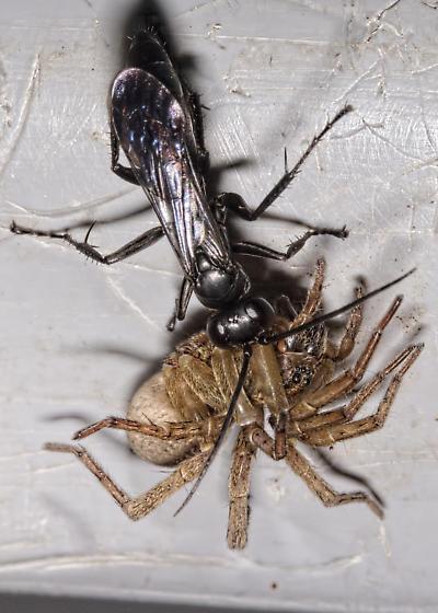 Spider Wasp with Spider - Anoplius virginiensis - female