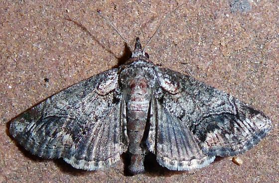 Paectes abrostoloides - Paectes - female