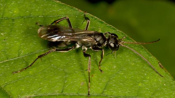 Unknown wasp  - Priocnemis germana - female