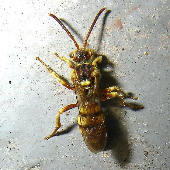 Hymenopteran that has bugged me for awhile.  ID, please. - Nomada