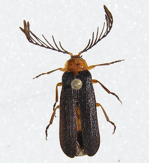 Dendroides sp. - Pterotus obscuripennis