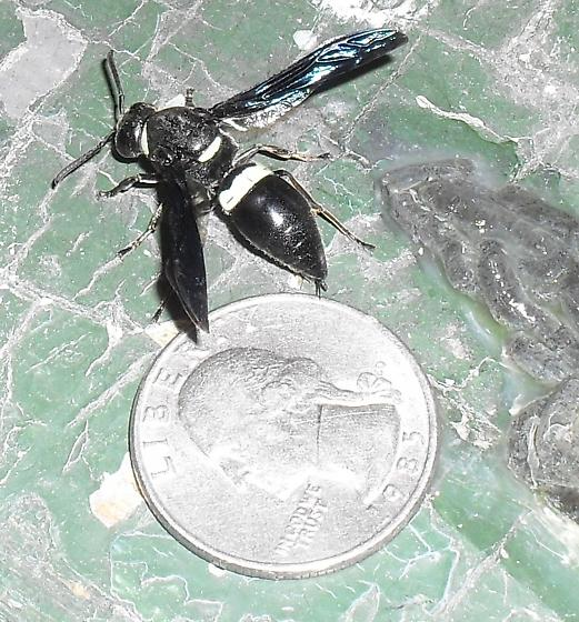 Large Black Wasp, black wings, white bands, Upstate New York - Monobia quadridens