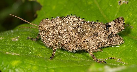 Grasshopper - Dissosteira carolina - female