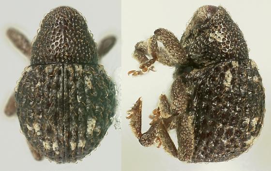 Eurhoptus pyriformis LeConte - Eurhoptus pyriformis