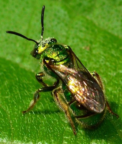 Green Bee? - Augochloropsis - female