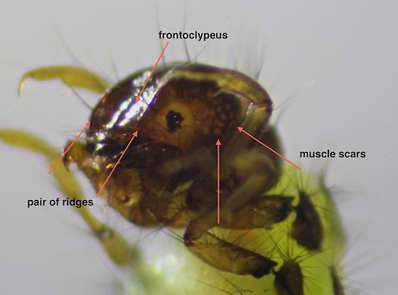 Adicrophleps hitchcocki