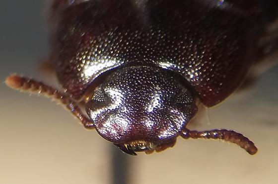 Uloma? - Alphitobius diaperinus