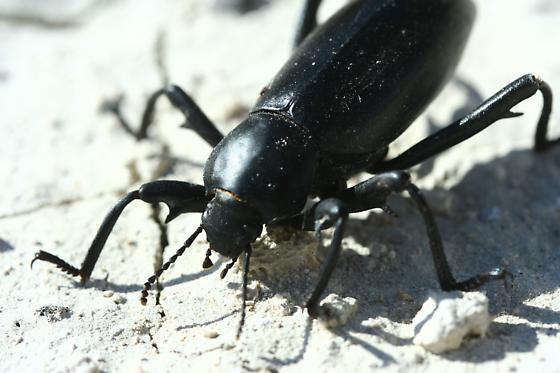 Darkling beetle ID request - Eleodes armata