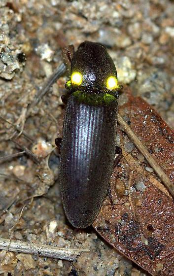 Deilelater physoderus - Vesperelater arizonicus