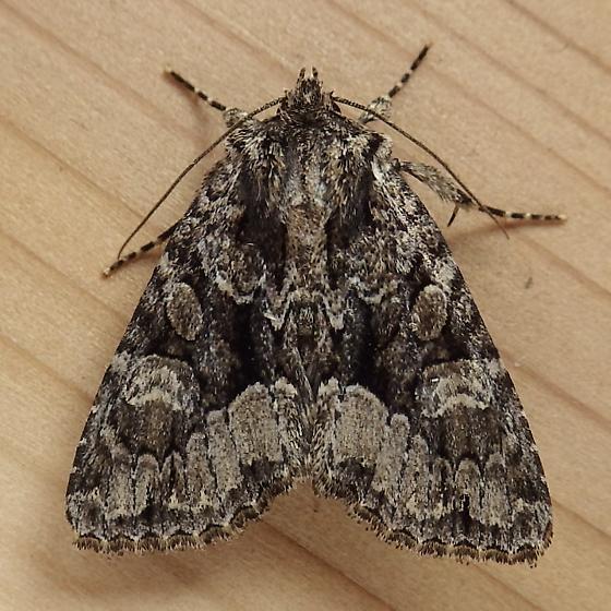 Noctuidae: Platypolia mactata - Platypolia mactata